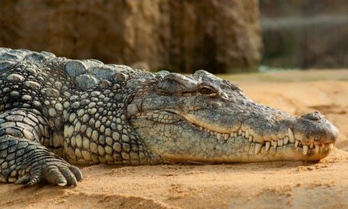 Crocodile in Florida Everglades