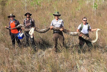 Pythons in the Florida Everglades